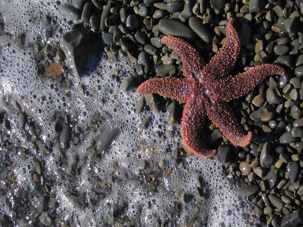Starfishbonamiweb_2